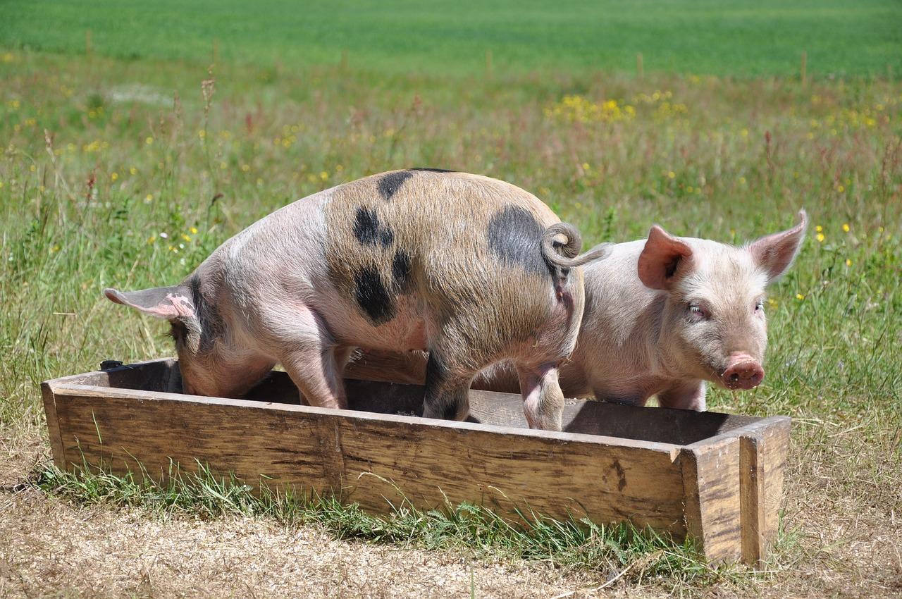 pigs-662001_1280